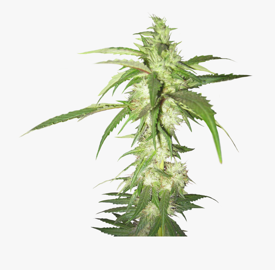 Weed plant background clipart clipart transparent Cannabis Png - Weed Plant Transparent Background #149497 ... clipart transparent
