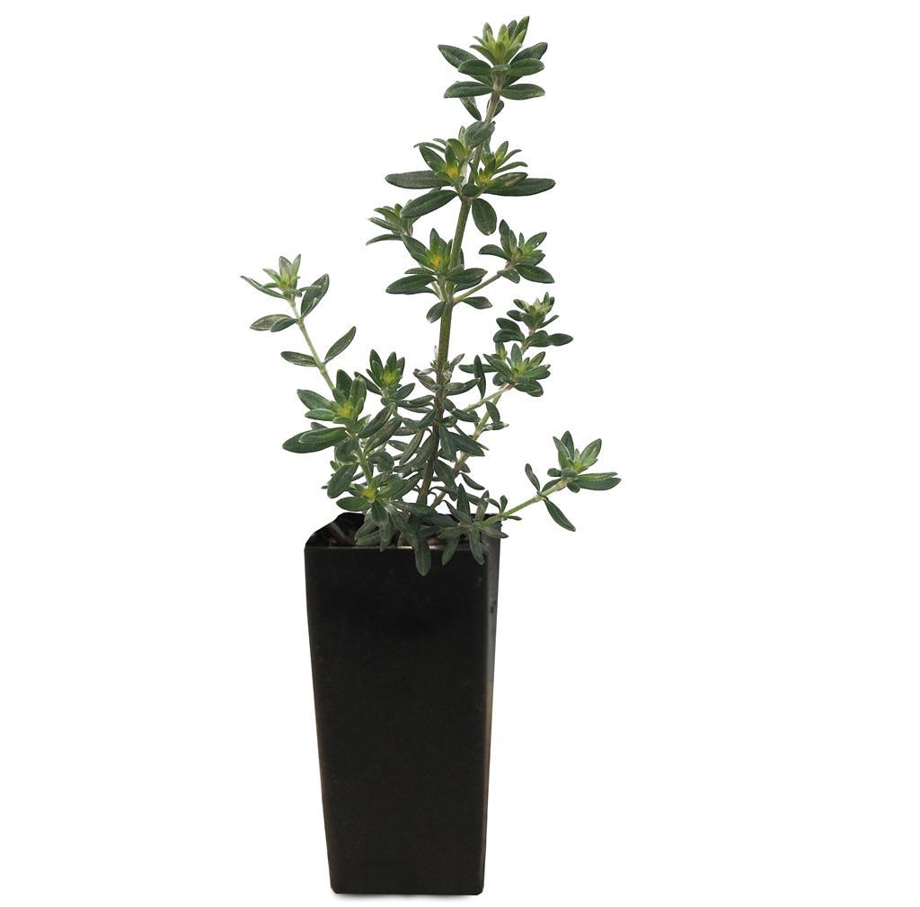 Westringia clipart freeuse Coastal Rosemary - Westringia Fruticosa freeuse
