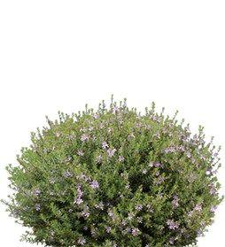 Westringia clipart free stock Westringia \'WES03\' PBR | Photoshop Cutouts | Plants, Shade ... free stock