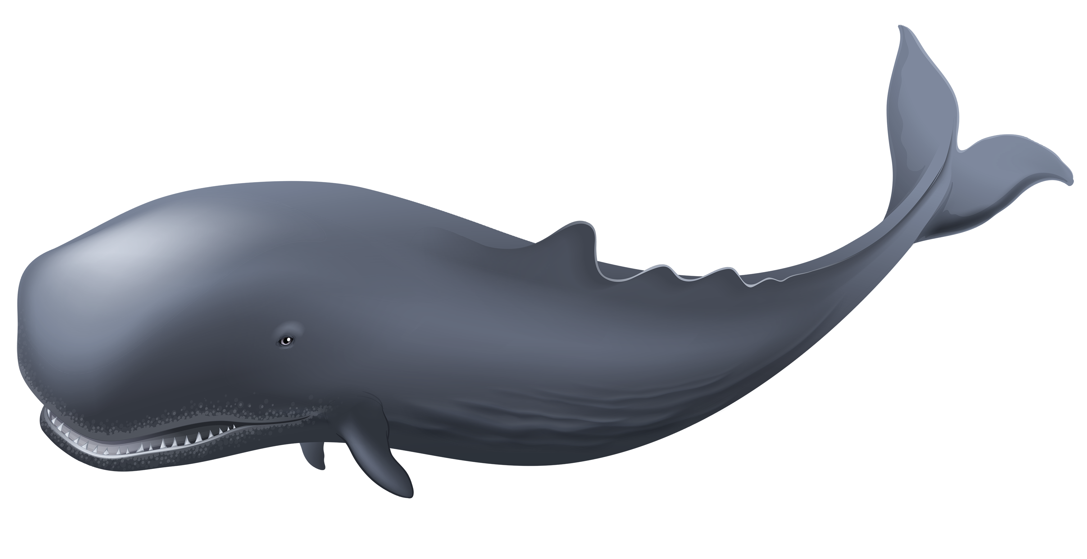 Whale png clipart jpg transparent Whale PNG Clipart - Best WEB Clipart jpg transparent