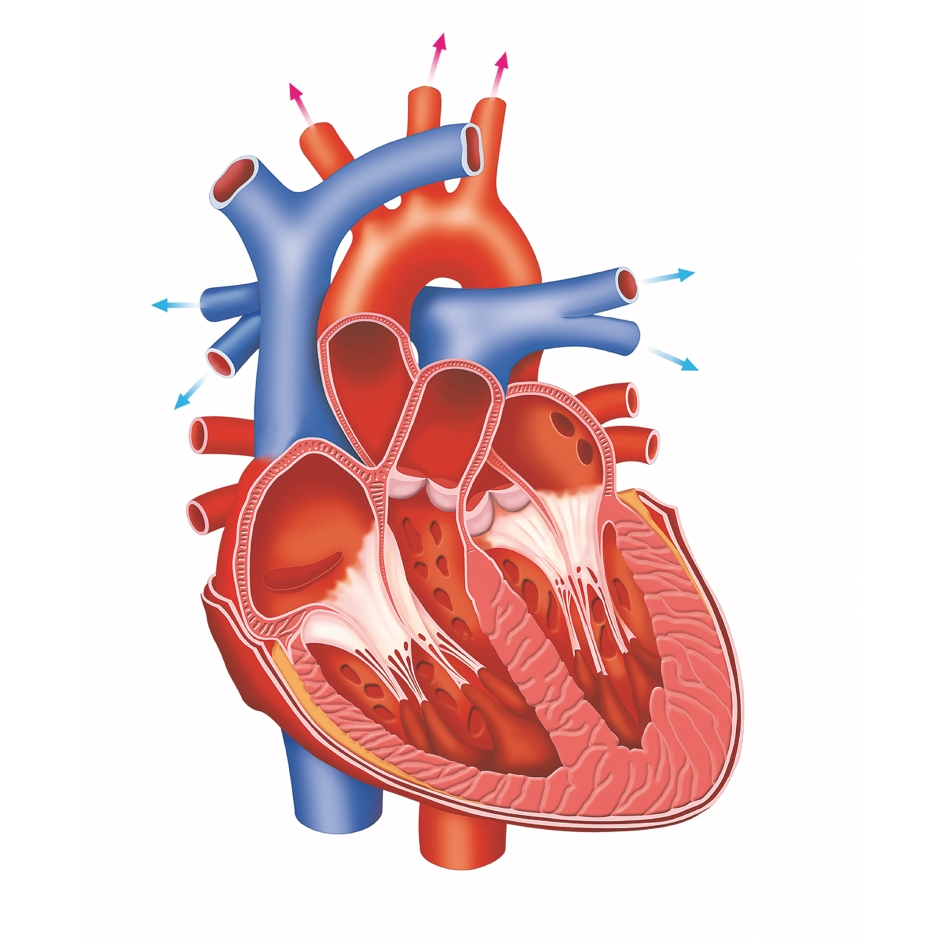 Whats inside the heart clipart graphic royalty free download The Human Body: How does the heart work? – How It Works graphic royalty free download