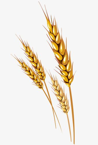 Wheat clipart vector picture freeuse library Wheat Vector | Dsg | Wheat vector, Wheat drawing, Clip art picture freeuse library