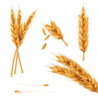 Wheat spike clipart black and white Wheat Vectors, Photos and PSD files | Free Download black and white