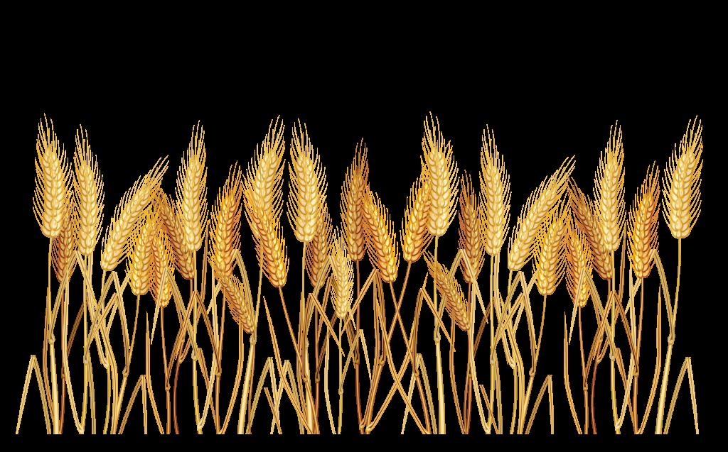 Wheat sun clipart vector transparent stock Wheat Cereal Clip Art - peoplepng.com vector transparent stock