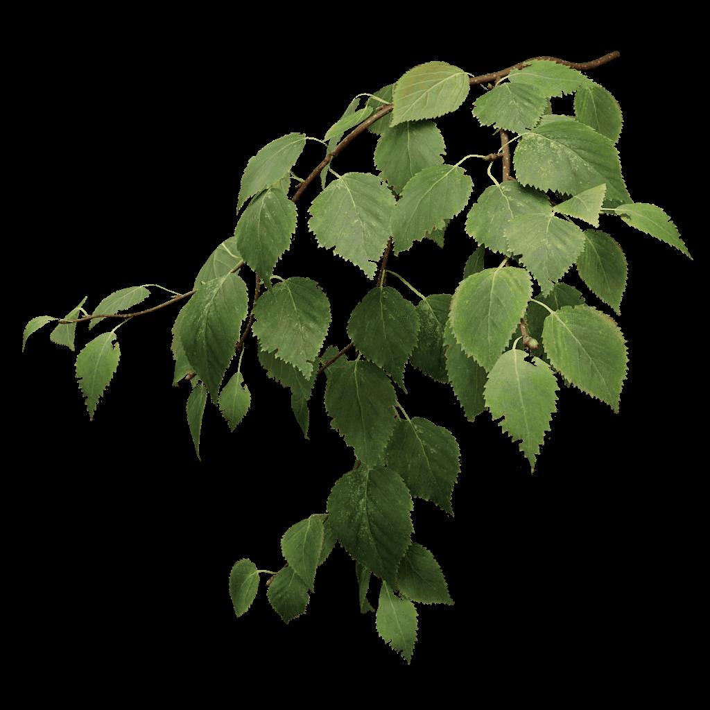 White birch tree clipart jpg royalty free stock White Birch Tree PNG Transparent White Birch Tree.PNG Images. | PlusPNG jpg royalty free stock