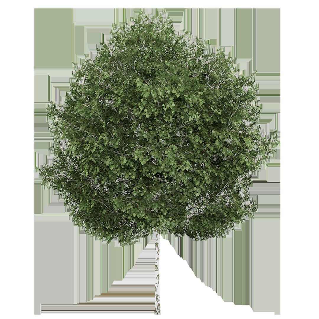White birch tree clipart image free paper birch - Bingo.raindanceirrigation.co image free