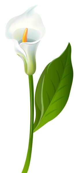 White calla lily clipart png free download Pin by Pink Maiden on ClipArt | Calla lily, Art images, Clip art png free download