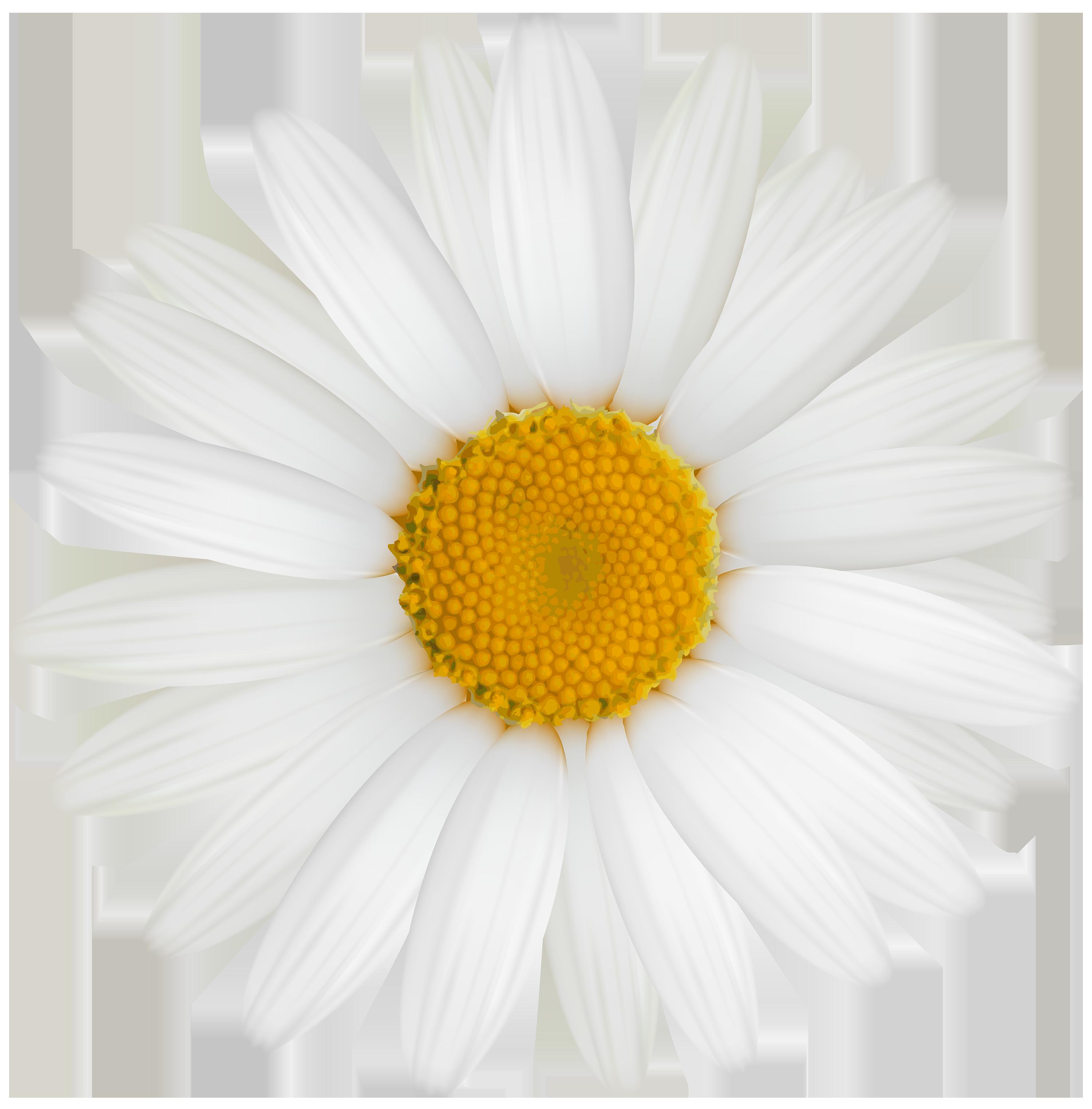 White daisy clipart transparent background clip art transparent library White Daisy PNG Clipart - Best WEB Clipart clip art transparent library