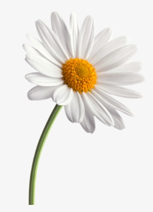 White daisy clipart transparent background svg library stock Daisy PNG, Transparent Daisy PNG Image Free Download - PNGkey svg library stock
