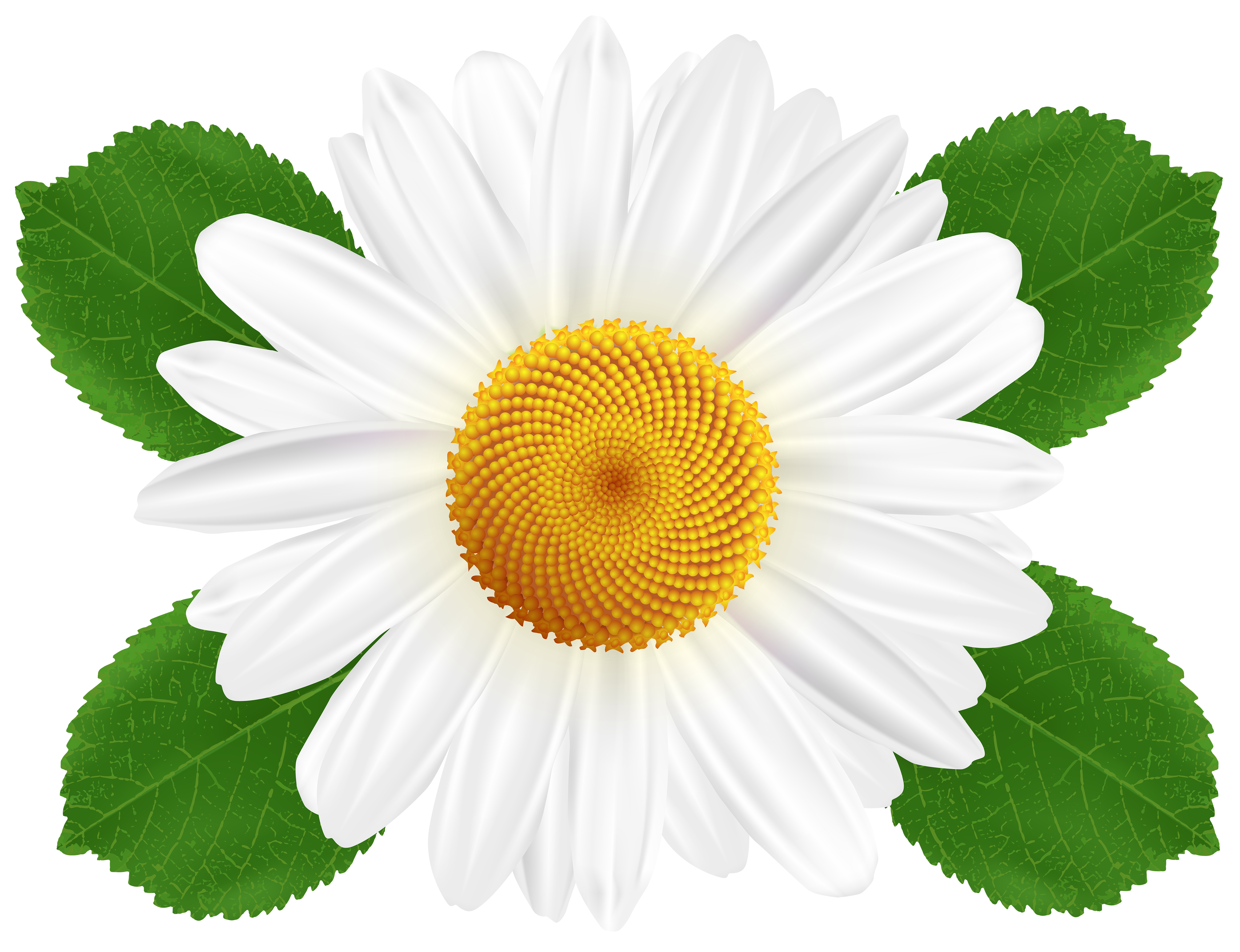 White daisy clipart transparent background jpg black and white download White Daisy Transparent PNG Clip Art | Gallery Yopriceville ... jpg black and white download