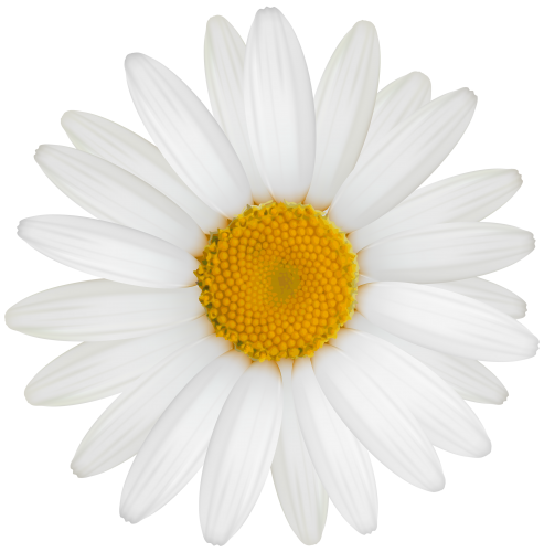 White daisy flower clipart clip art freeuse download Pin by Angel Lady on Transparent Clip Images.... | Daisy ... clip art freeuse download
