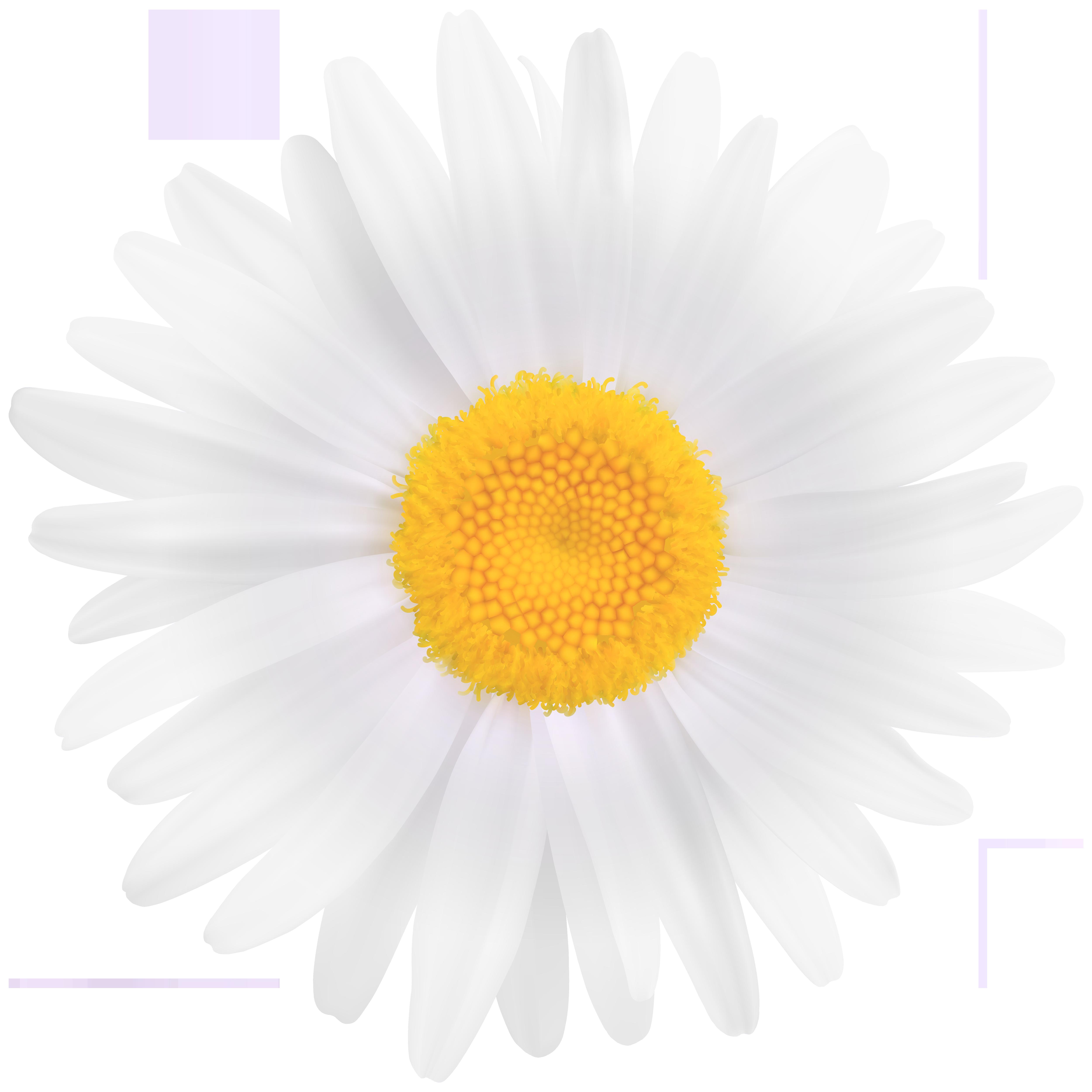 White daisy flower clipart image transparent stock White Daisy Flower PNG Clipart Image | Gallery Yopriceville ... image transparent stock