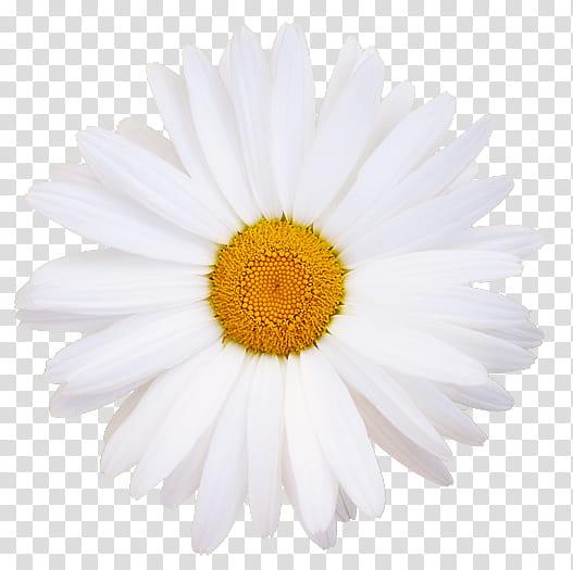 White daisy flower clipart clip art transparent stock Flowers, white daisy flower transparent background PNG ... clip art transparent stock