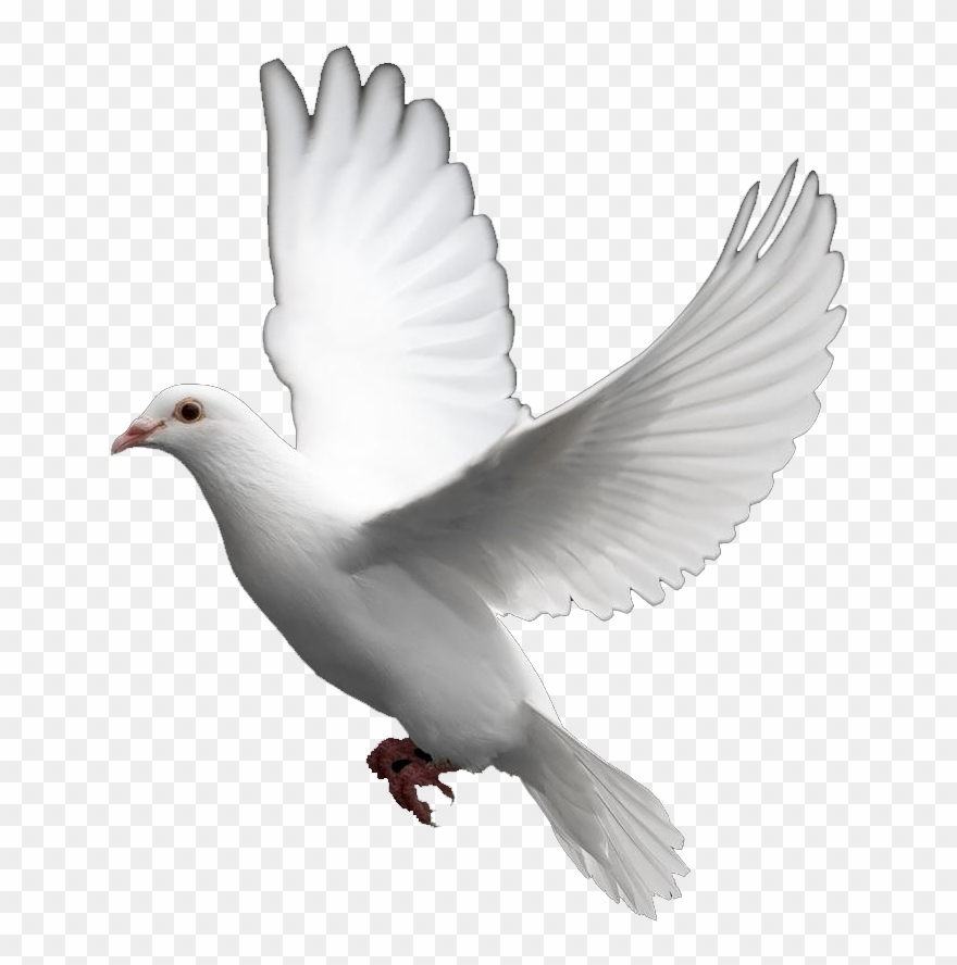 White dove in flight clipart clip free download Pigeon Clipart In Flight - Transparent Dove - Png Download ... clip free download