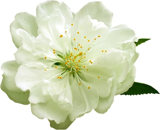 White flower clipart png clipart royalty free download White flower green center watercolor clipart png - ClipartFest clipart royalty free download