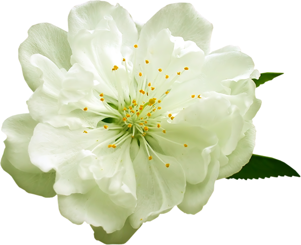 White flower clipart png svg black and white library Transparent White Flower PNG Clipart svg black and white library