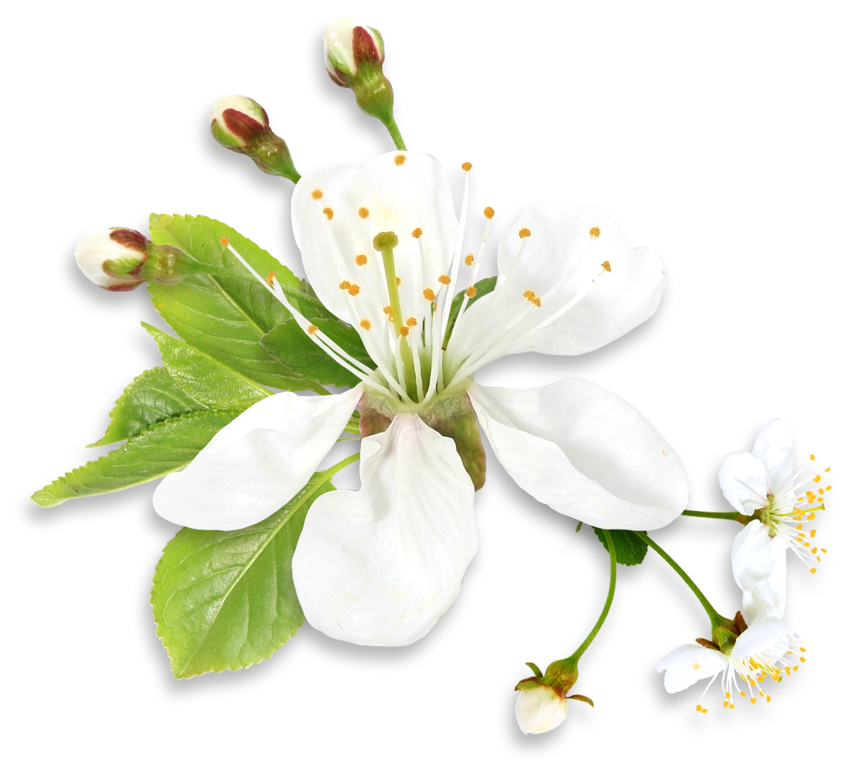 White flower clipart png image stock White Spring Tree Flower PNG Clipart image stock