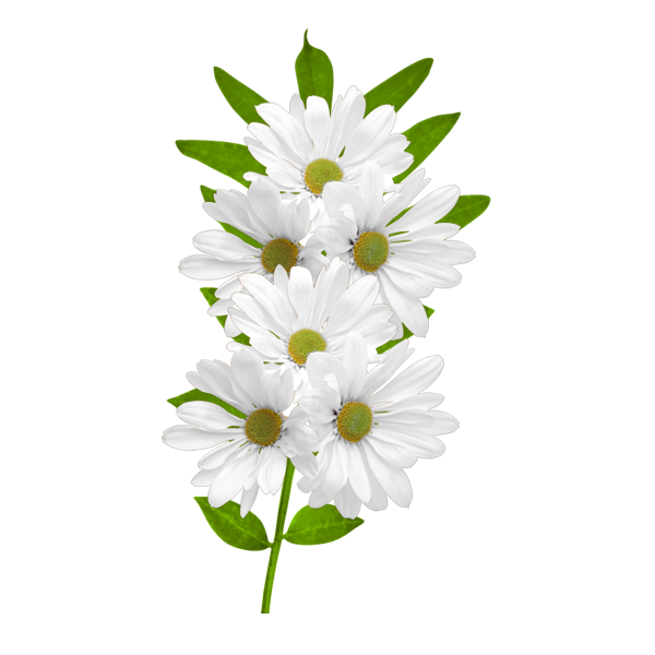 White flower clipart png jpg library download White flower clipart png - ClipartFest jpg library download