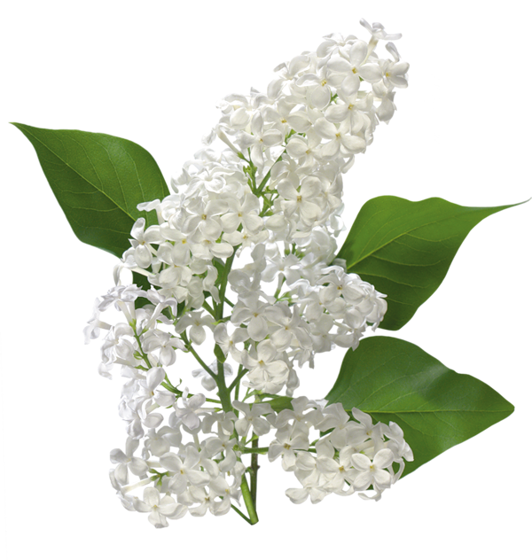White flower clipart transparent background png transparent library Transparent White Lilac Clipart | Gallery Yopriceville - High ... png transparent library