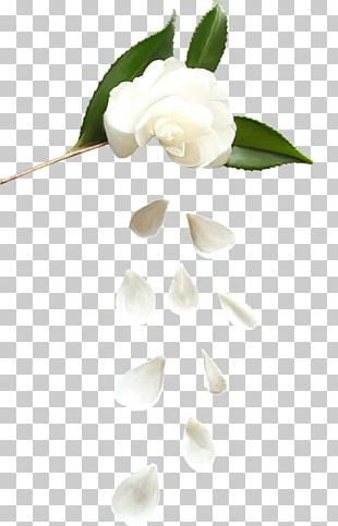 White flower petals clipart picture freeuse White Rose Petals PNG Images, White Rose Petals Clipart Free ... picture freeuse
