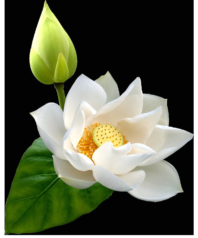 White lotus flower clipart jpg freeuse download White Lotus PNG Clip Art - Best WEB Clipart jpg freeuse download