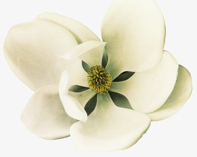 White magnolia clipart clip freeuse stock White Magnolia Flowers PNG, Clipart, Beauty In Nature ... clip freeuse stock