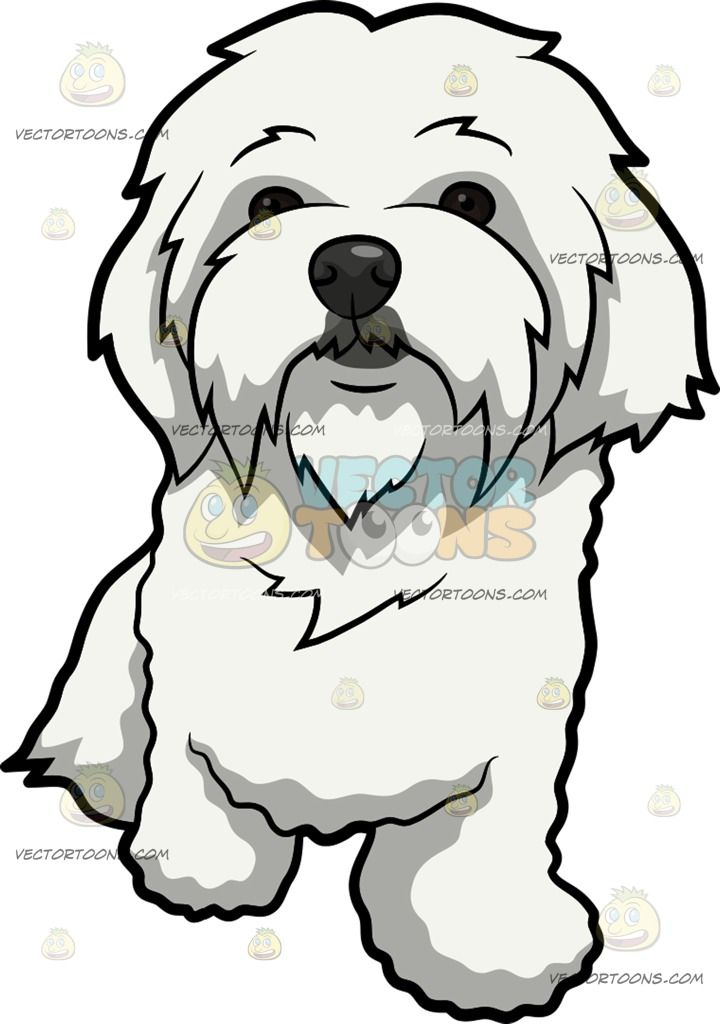 White maltese dog clipart png stock A Curiously Cute Maltese Dog : A dog with long white coat ... png stock