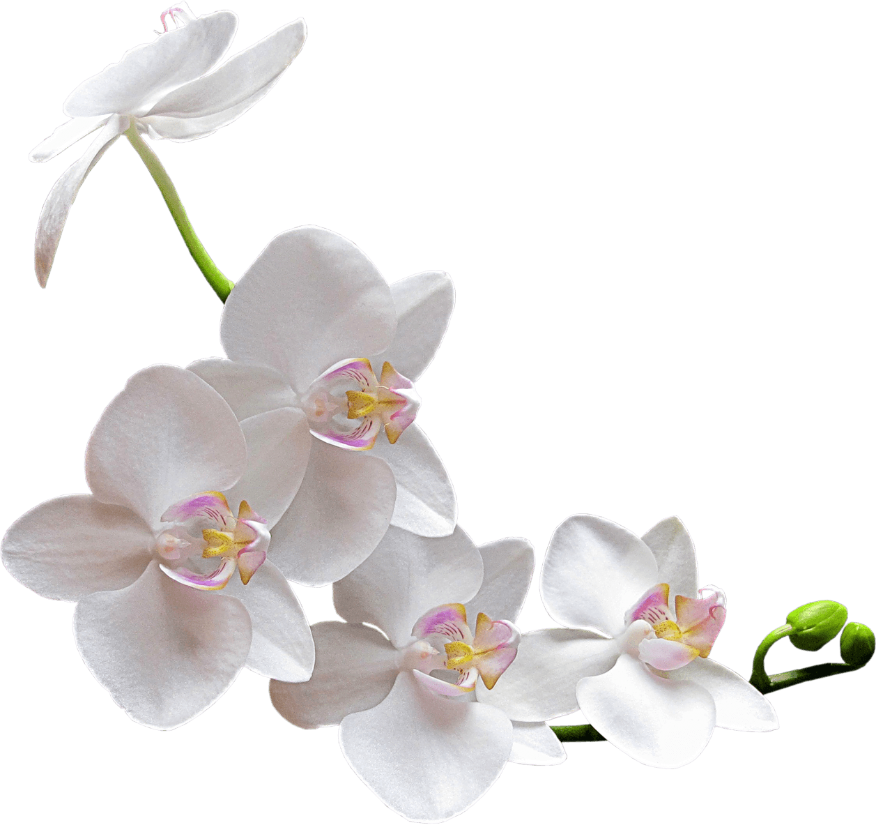 White orchid bunch clipart