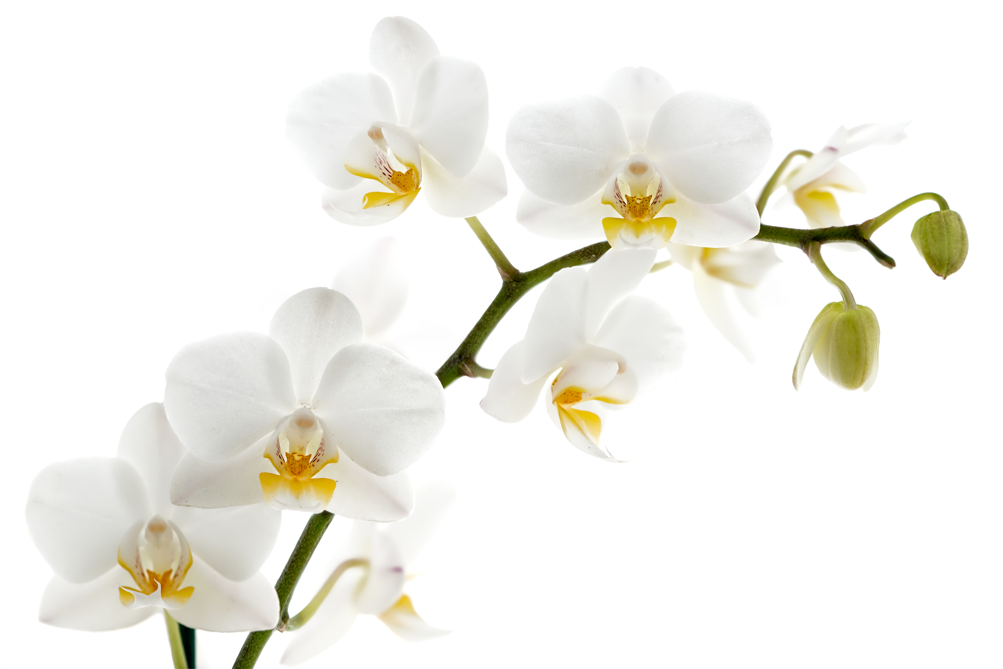Library of white orchid bunch jpg free library png files ...