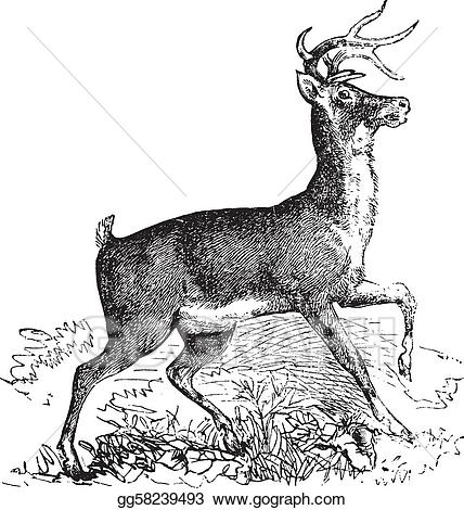 White tailed deer etching clipart png Vector Art - Whitetail or virginia deer vintage engraving ... png