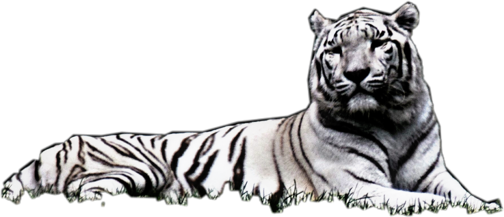 White tiger laying down clipart clip art free stock white black tiger layingdown clip art free stock