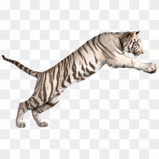 White tiger laying down clipart image free Tiger PNG Transparent For Free Download - PngFind image free