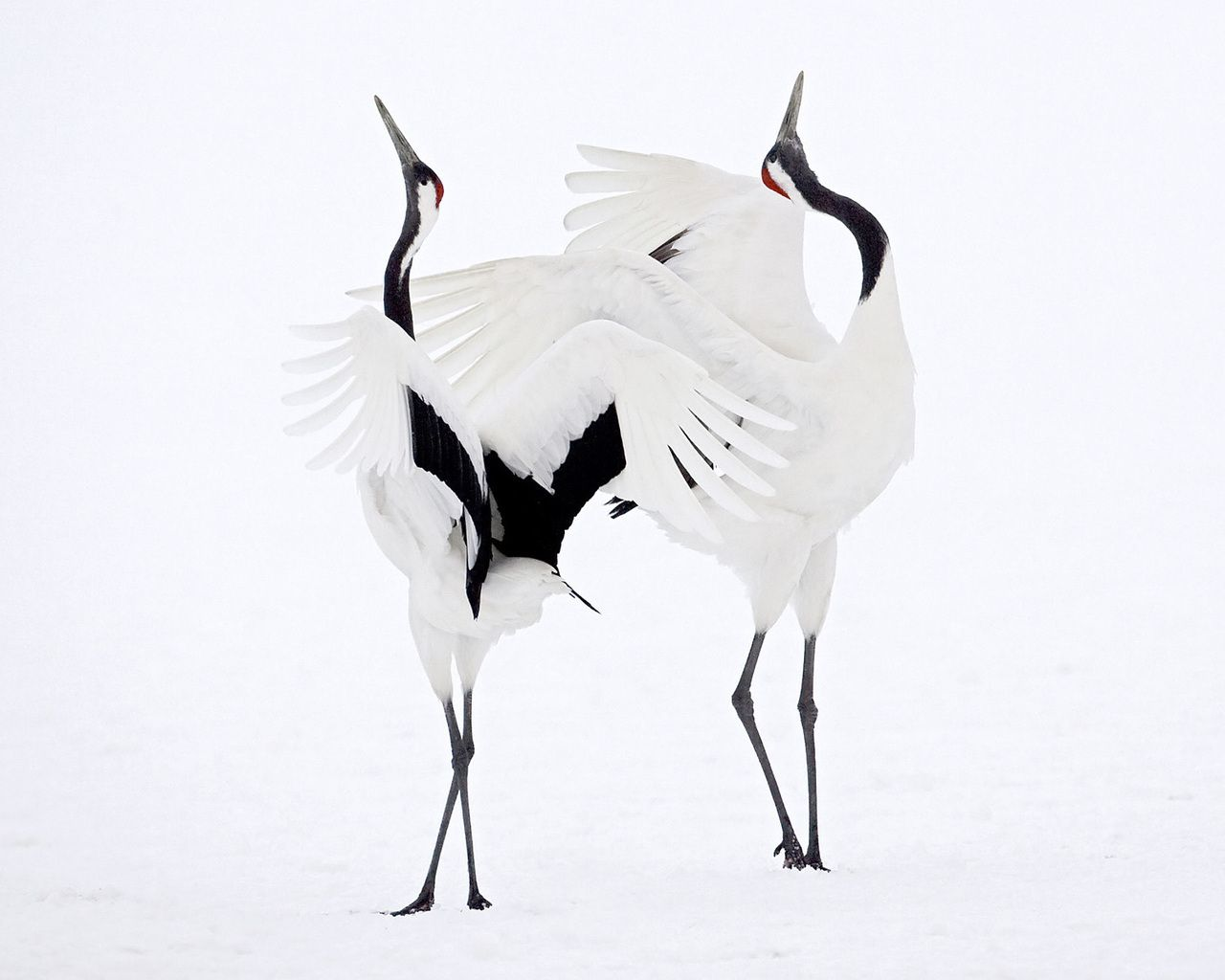 Whooping crane clipart black and white vector scene clip art transparent stock japanese crane pictures   Picture Japanese Crane Courtship ... clip art transparent stock