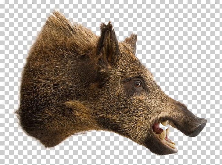 Wild boar hunting clipart jpg royalty free Wild Boar Raccoon Deer Taxidermy Boar Hunting PNG, Clipart ... jpg royalty free