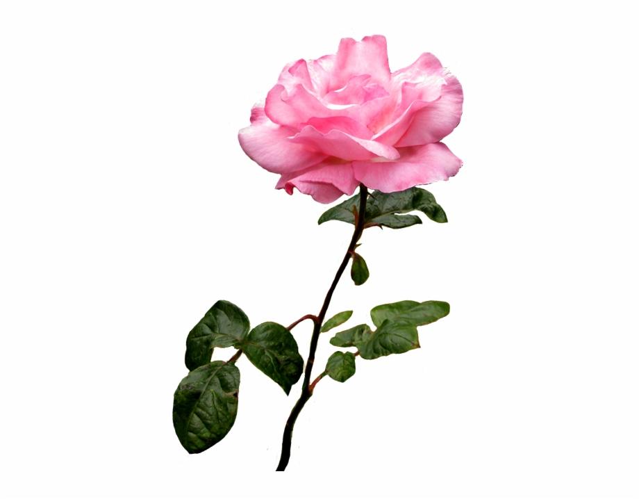 Wild rose clipart border banner transparent stock Pink Wild Rose Clip Art - Rose Clipart Transparent ... banner transparent stock