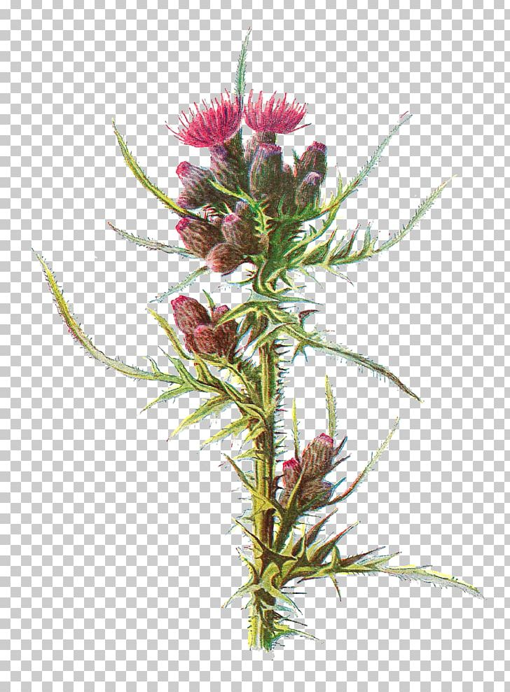 Wild thistle clipart clip freeuse download Milk Thistle Familiar Wild Flowers Cirsium Palustre PNG ... clip freeuse download