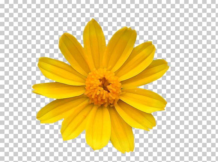 Yellow chrysanthemum clipart banner royalty free library Chrysanthemum Yellow Common Daisy Flower Transvaal Daisy PNG ... banner royalty free library