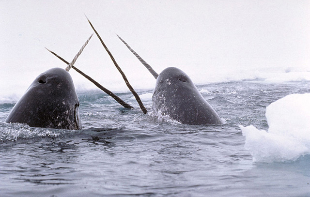 Wildlife and climate hange clipart jpg Climate Change is a Challenge for Narwhals | Earth Rangers ... jpg