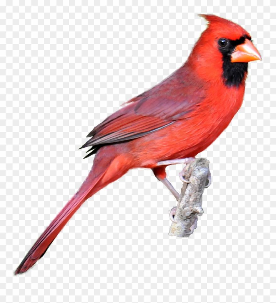 Winter clipart cardinal free Winter Cardinal Bird Clipart Clip Art Library Classroom ... free