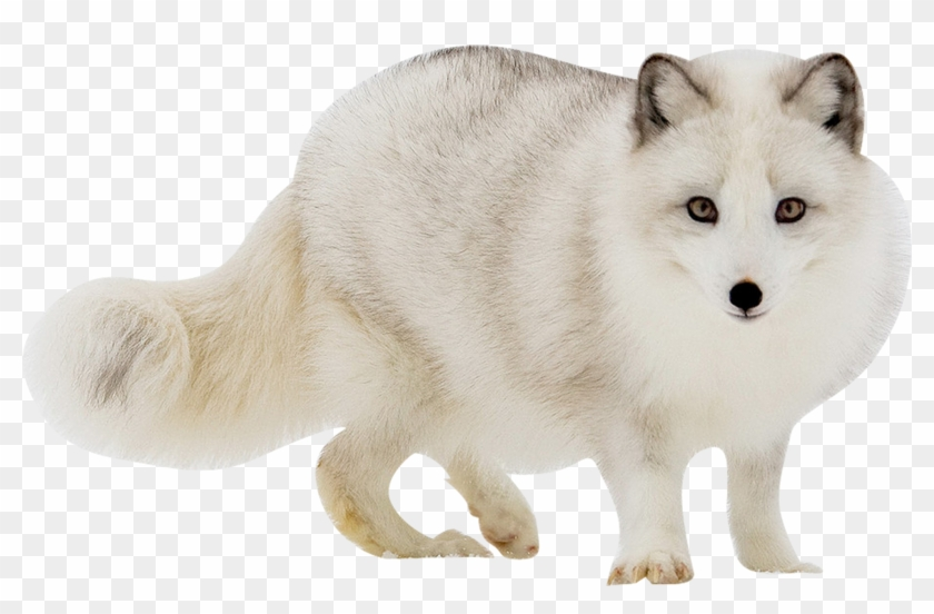 Winter fox in snow clipart svg royalty free library White Fox Transparent Images - Arctic Fox Transparent ... svg royalty free library