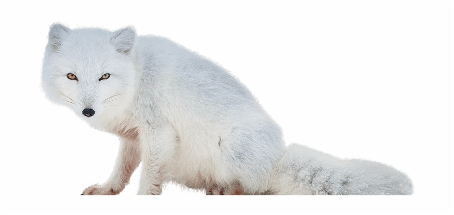 Winter fox in snow clipart image royalty free Arctic Fox Clipart Tundra Animal - Arctic Fox No Background ... image royalty free