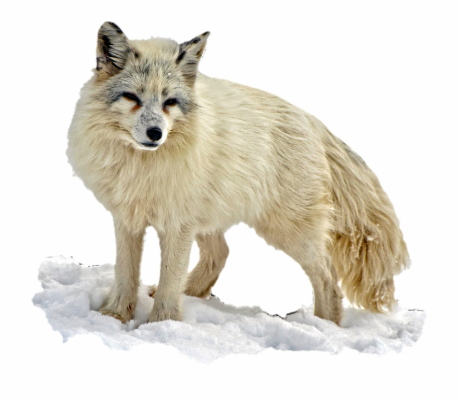 Winter fox in snow clipart clip art download Arctic Snow Fox - Arctic Fox Transparent Background {#739242 ... clip art download