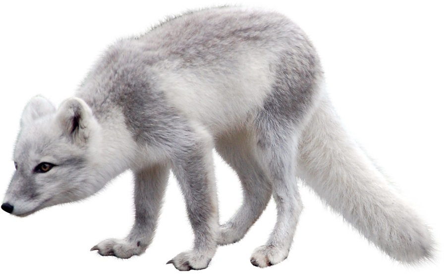 Winter fox in snow clipart clip transparent library Arctic fox PNG images free download clip transparent library