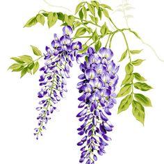 Wisteria lavender hydrangea clipart free library Purple Hydrangea Cliparts - Cliparts Zone free library