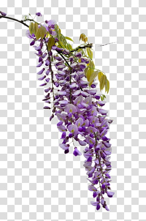 Wisteria lavender hydrangea clipart png royalty free Wisteria transparent background PNG cliparts free download ... png royalty free