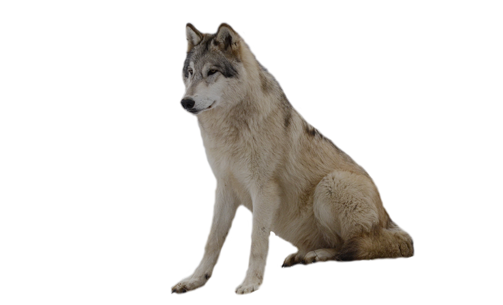 Wolf dog clipart transparent jpg free library Dog Clip art - wolf png image, picture, download png ... jpg free library
