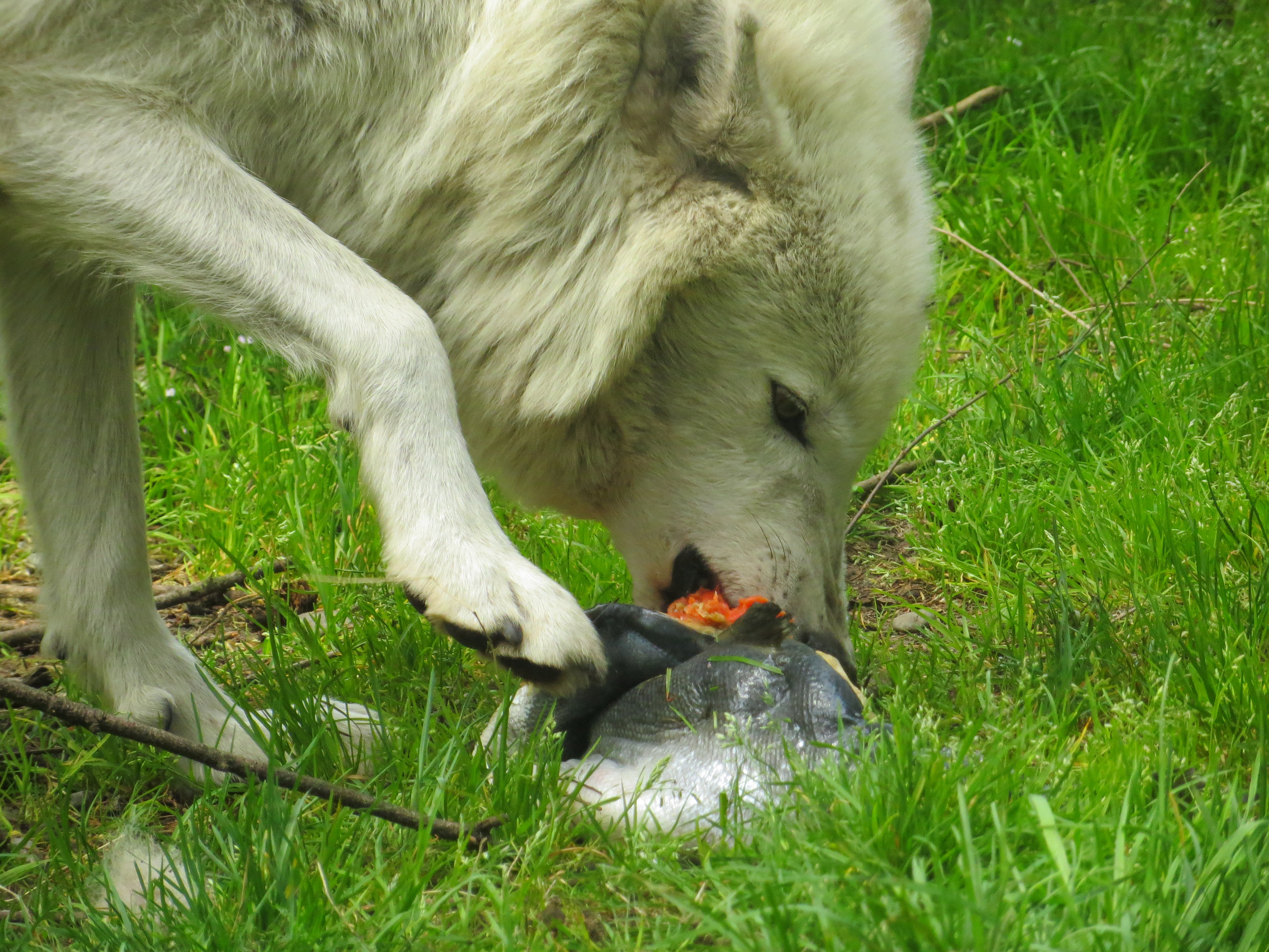 Wolf eating steak clipart jpg free Feeding the Wolves at Wolf Haven - Wolf Haven International jpg free