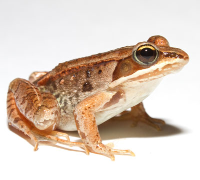 Wood frog clipart picture royalty free library Wood Frog picture royalty free library