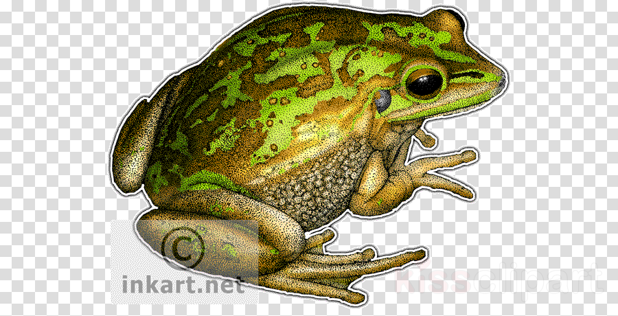Wood frog clipart transparent American Bullfrog, Frog, Toad, transparent png image ... transparent