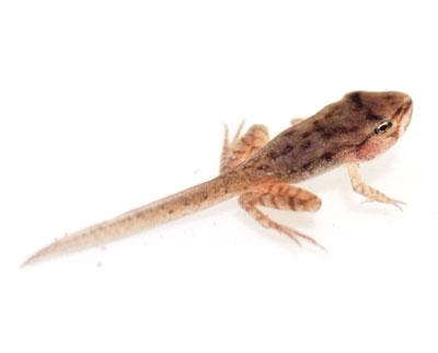 Wood frog clipart jpg transparent download Wood Frog jpg transparent download